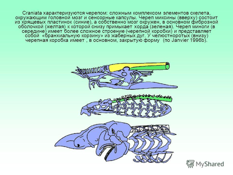 Craniata характеризуются черепом: сложным комплексом элементов скелета, окружающим головной мозг и сенсорные капсулы. Череп миксины (вверху) состоит из хрящевых пластинок (синие), а собственно мозг окружен, в основном фиброзной оболочкой (желтая) к к