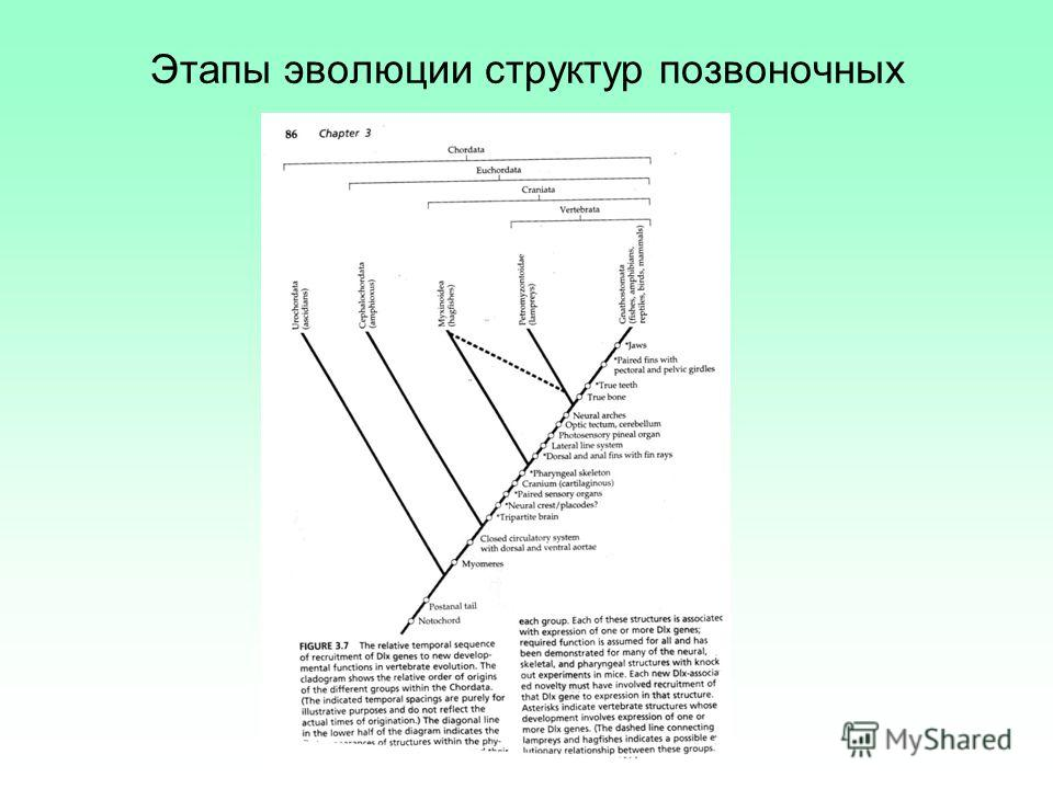 Этапы эволюции структур позвоночных