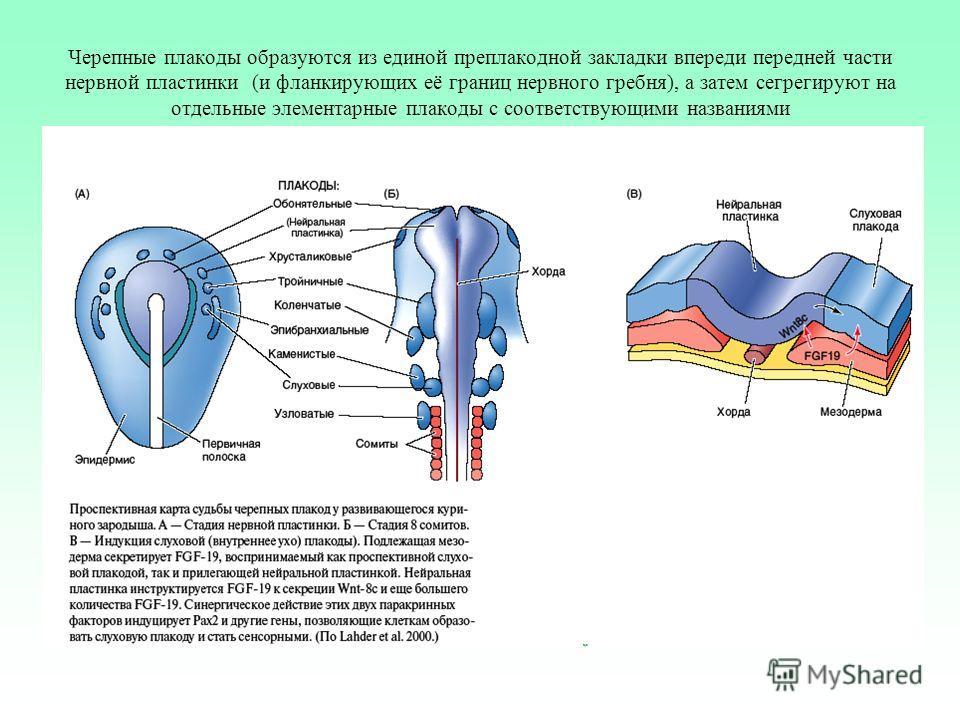 Черепные плакоды образуются из единой преплакодной закладки впереди передней части нервной пластинки (и фланкирующих её границ нервного гребня), а затем сегрегируют на отдельные элементарные плакоды с соответствующими названиями