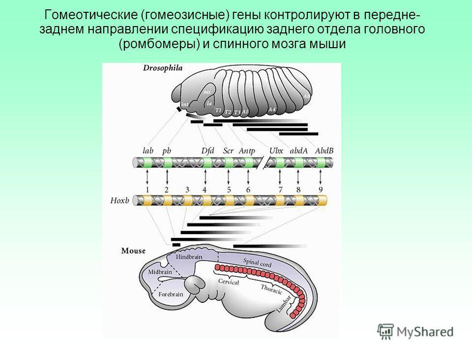 Гомеотические (гомеозисные) гены контролируют в передне- заднем направлении спецификацию заднего отдела головного (ромбомеры) и спинного мозга мыши