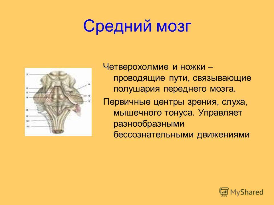 Средний мозг Четверохолмие и ножки – проводящие пути, связывающие полушария переднего мозга. Первичные центры зрения, слуха, мышечного тонуса. Управляет разнообразными бессознательными движениями