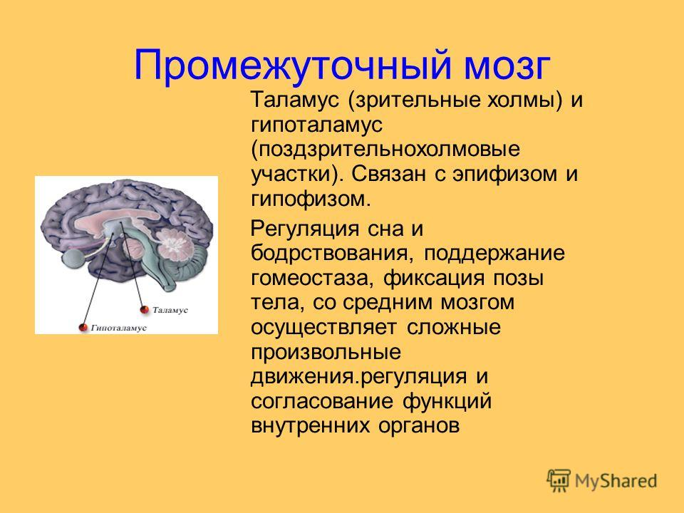 Промежуточный мозг Таламус (зрительные холмы) и гипоталамус (поздзрительнохолмовые участки). Связан с эпифизом и гипофизом. Регуляция сна и бодрствования, поддержание гомеостаза, фиксация позы тела, со средним мозгом осуществляет сложные произвольные