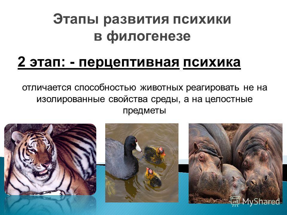 Этапы развития психики в филогенезе 2 этап: - перцептивная психика отличается способностью животных реагировать не на изолированные свойства среды, а на целостные предметы