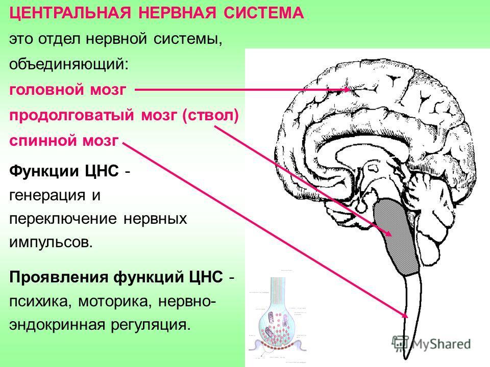 ЦЕНТРАЛЬНАЯ НЕРВНАЯ СИСТЕМА это отдел нервной системы, объединяющий: головной мозг продолговатый мозг (ствол) спинной мозг Функции ЦНС - генерация и переключение нервных импульсов. Проявления функций ЦНС - психика, моторика, нервно- эндокринная регул