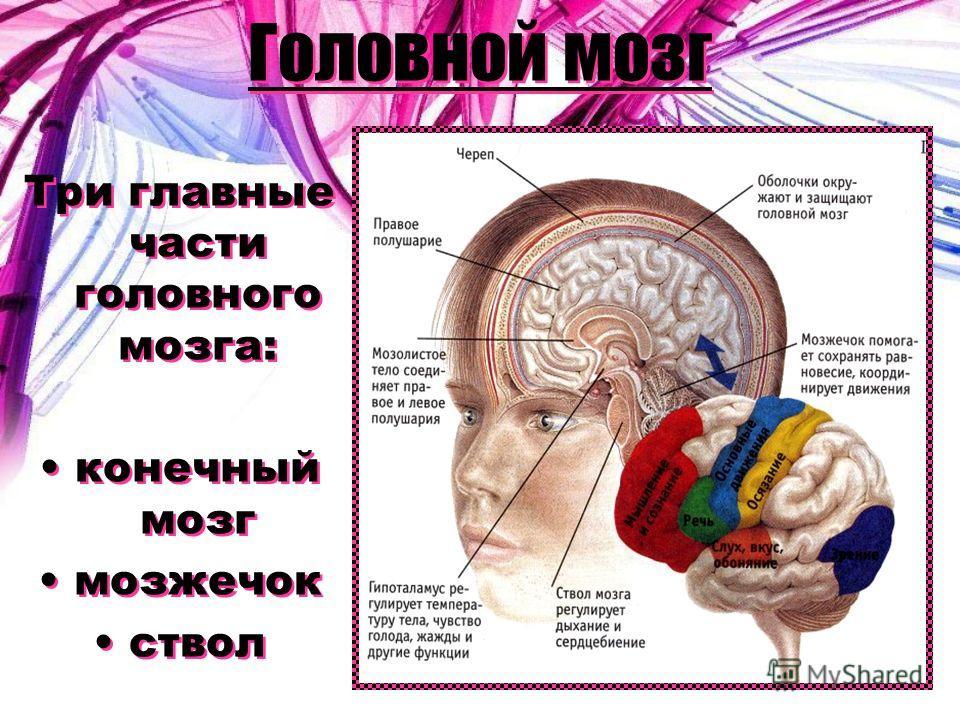 Головной мозг Три главные части головного мозга: конечный мозг мозжечок ствол Три главные части головного мозга: конечный мозг мозжечок ствол