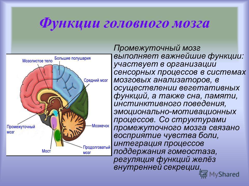 Промежуточный мозг выполняет важнейшие функции: участвует в организации сенсорных процессов в системах мозговых анализаторов, в осуществлении вегетативных функций, а также сна, памяти, инстинктивного поведения, эмоционально-мотивационных процессов. С