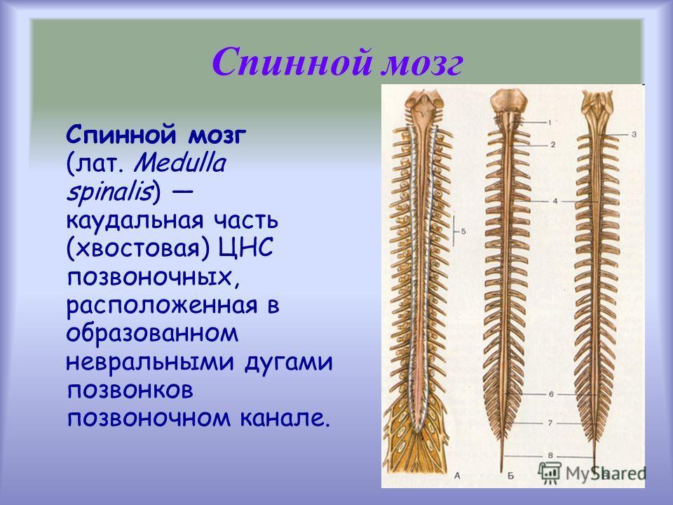 Спинной мозг (лат. Medulla spinalis) каудальная часть (хвостовая) ЦНС позвоночных, расположенная в образованном невральными дугами позвонков позвоночном канале. Спинной мозг