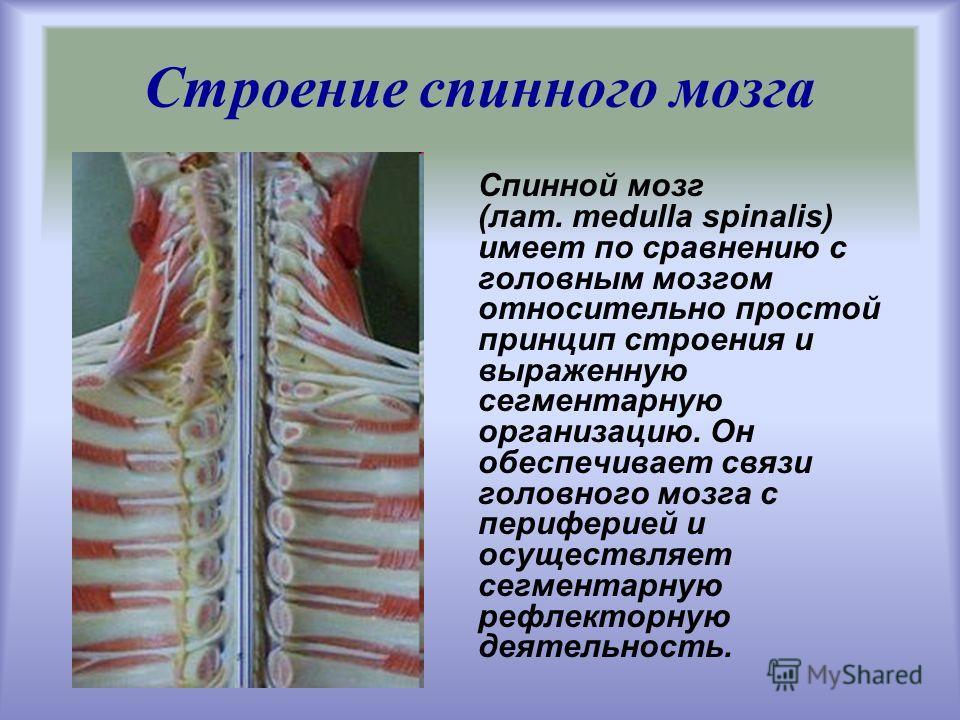 Строение спинного мозга Спинной мозг (лат. medulla spinalis) имеет по сравнению с головным мозгом относительно простой принцип строения и выраженную сегментарную организацию. Он обеспечивает связи головного мозга с периферией и осуществляет сегментар