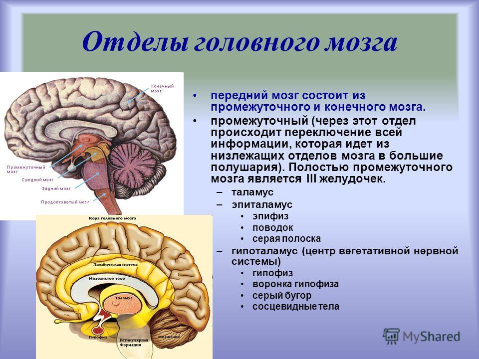 передний мозг состоит из промежуточного и конечного мозга. промежуточный (через этот отдел происходит переключение всей информации, которая идет из низлежащих отделов мозга в большие полушария). Полостью промежуточного мозга является III желудочек. –