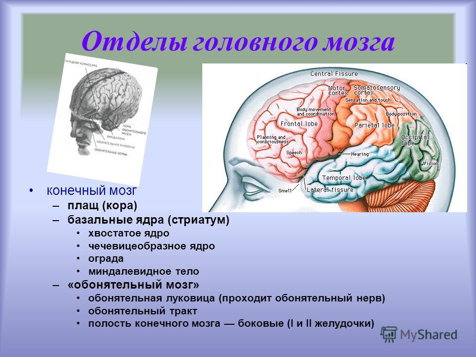 конечный мозг –плащ (кора) –базальные ядра (стриатум) хвостатое ядро чечевицеобразное ядро ограда миндалевидное тело –«обонятельный мозг» обонятельная луковица (проходит обонятельный нерв) обонятельный тракт полость конечного мозга боковые (I и II же