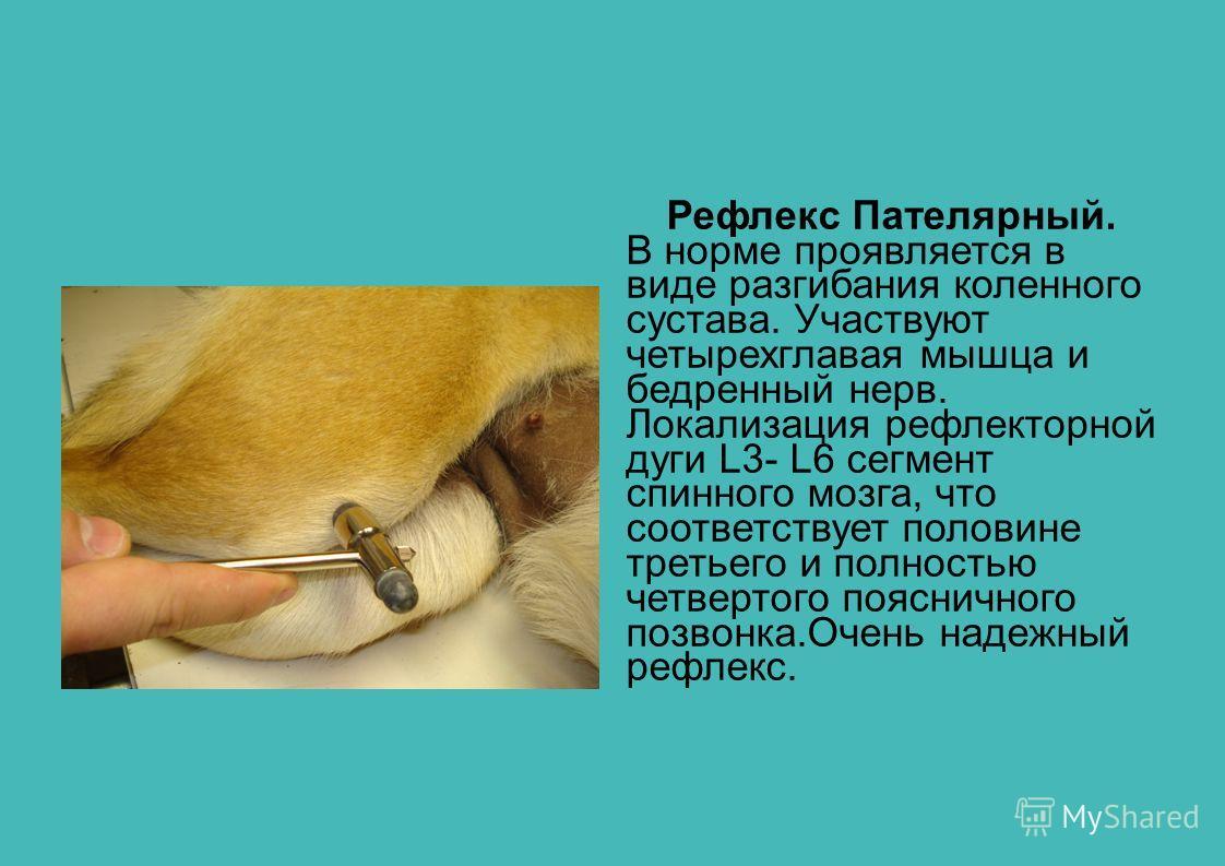 Рефлекс Пателярный. В норме проявляется в виде разгибания коленного сустава. Участвуют четырехглавая мышца и бедренный нерв. Локализация рефлекторной дуги L3- L6 сегмент спинного мозга, что соответствует половине третьего и полностью четвертого поясн