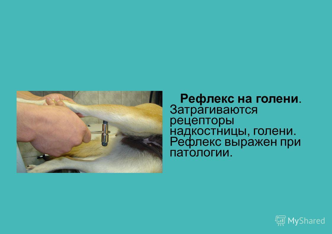 Рефлекс на голени. Затрагиваются рецепторы надкостницы, голени. Рефлекс выражен при патологии.