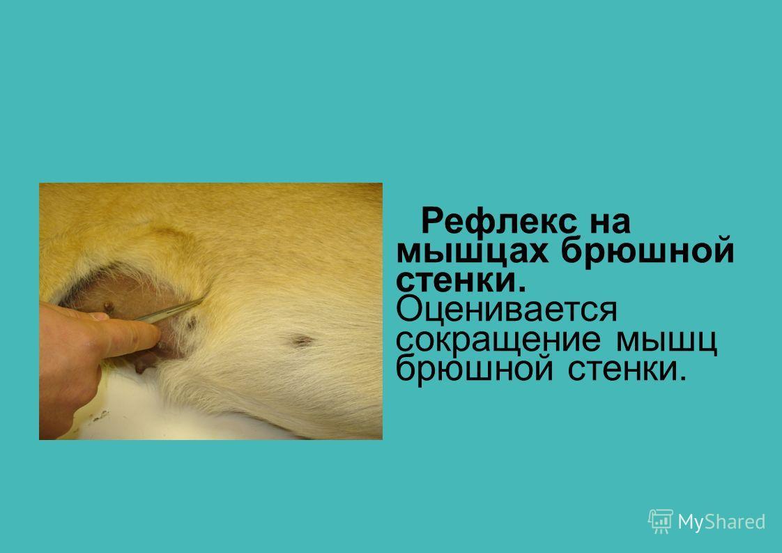 Рефлекс на мышцах брюшной стенки. Оценивается сокращение мышц брюшной стенки.
