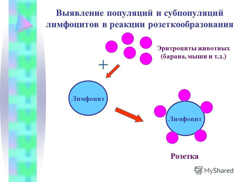 Выявление популяций и субпопуляций лимфоцитов в реакции розеткообразования Лимфоцит Эритроциты животных (барана, мыши и т.д.) Розетка