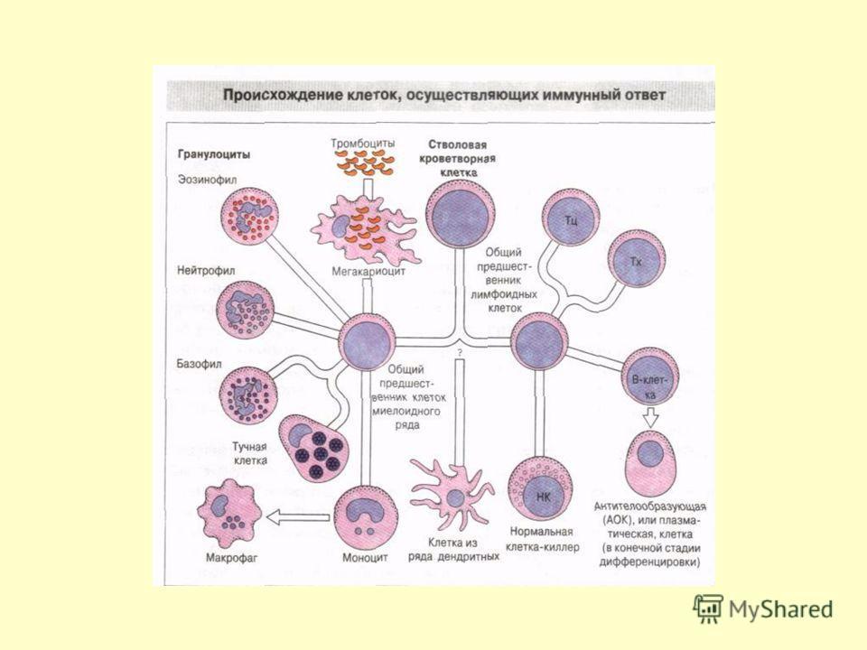 Костный мозг осуществляет : гемопоэз всех типов клеток крови; антигеннезависимую дифференцировку и созревание В - лимфоцитов