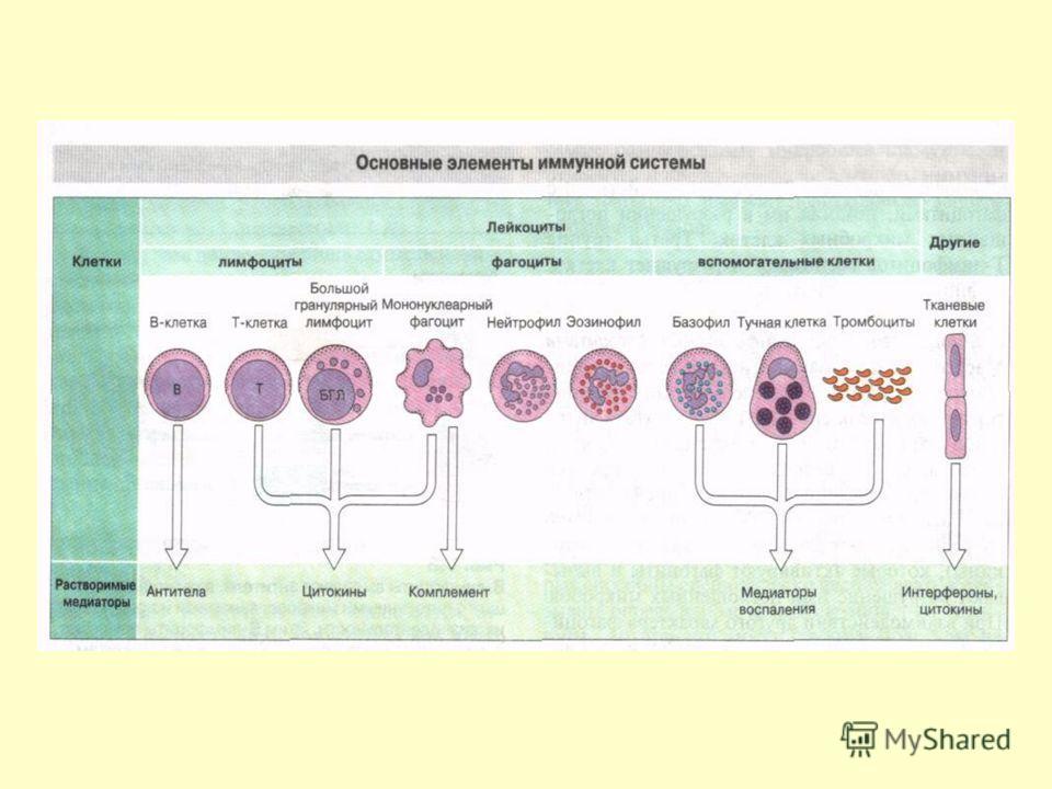 Типы лимфоидной ткани: Диффузная – инфильтрация кожи и слизистых Неинкапсулированная – скопление лимфоидной ткани в виде отдельных узелков в подслизистой пищеварительного и дыхательного трактов Инкапсулированная – лимфоидные органы (селезенка, лимфат