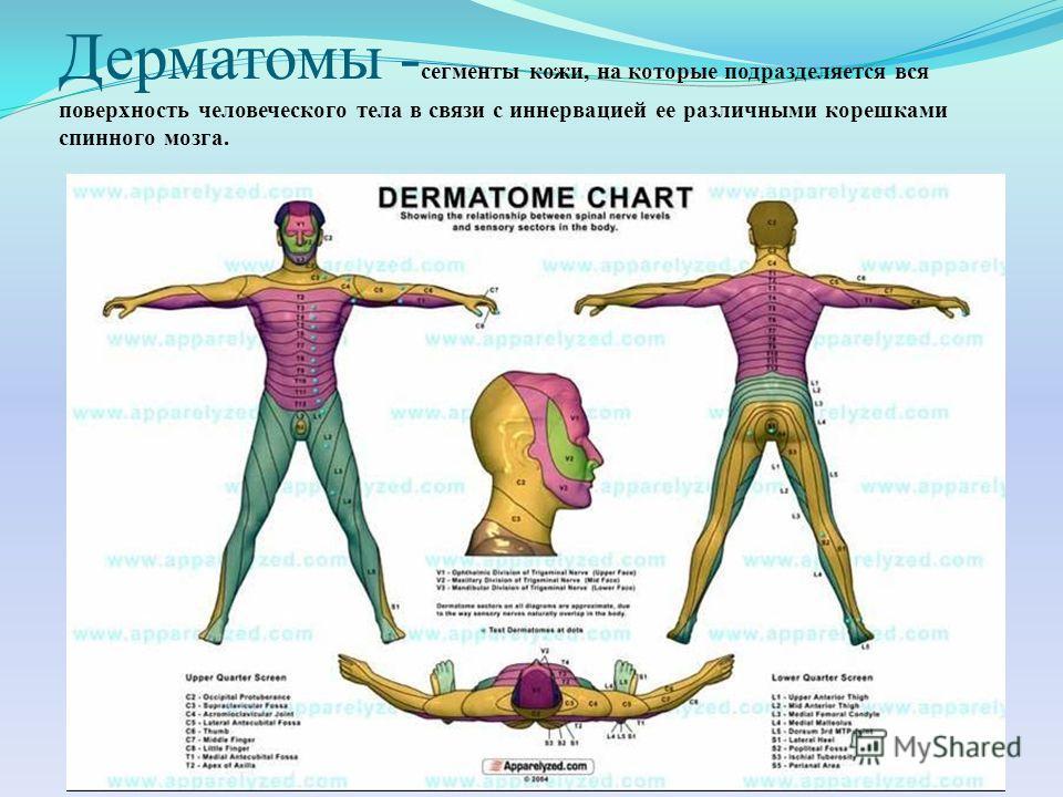 Дерматомы - сегменты кожи, на которые подразделяется вся поверхность человеческого тела в связи с иннервацией ее различными корешками спинного мозга.