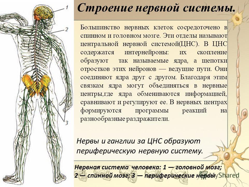 Строение нервной системы. Большинство нервных клеток сосредоточено в спинном и головном мозге. Эти отделы называют центральной нервной системой(ЦНС). В ЦНС содержатся интернейроны: их скопление образуют так называемые ядра, а щепотки отростков этих н