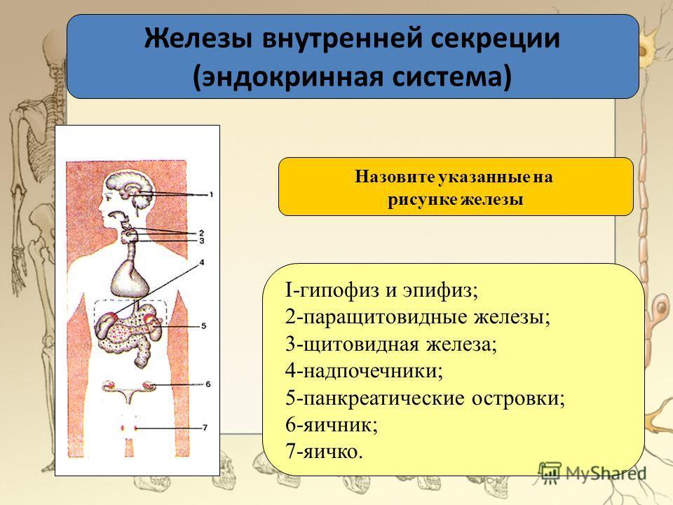 Железы внутренней секреции (эндокринная система) I-гипофиз и эпифиз; 2-паращитовидные железы; 3-щитовидная железа; 4-надпочечники; 5-панкреатические островки; 6-яичник; 7-яичко. Назовите указанные на рисунке железы