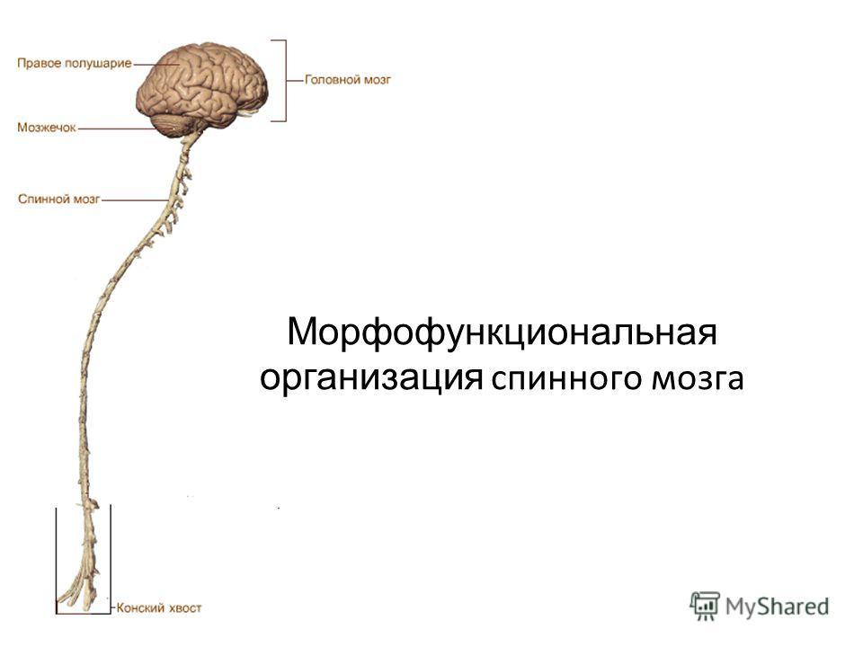 Морфофункциональная организация спинного мозга