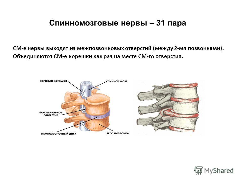 СМ-е нервы выходят из межпозвонковых отверстий (между 2-мя позвонками). Объединяются СМ-е корешки как раз на месте СМ-го отверстия. Спинномозговые нервы – 31 пара