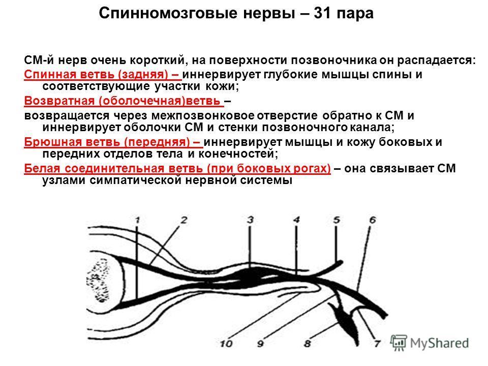 СМ-й нерв очень короткий, на поверхности позвоночника он распадается: Спинная ветвь (задняя) – иннервирует глубокие мышцы спины и соответствующие участки кожи; Возвратная (оболочечная)ветвь – возвращается через межпозвонковое отверстие обратно к СМ и