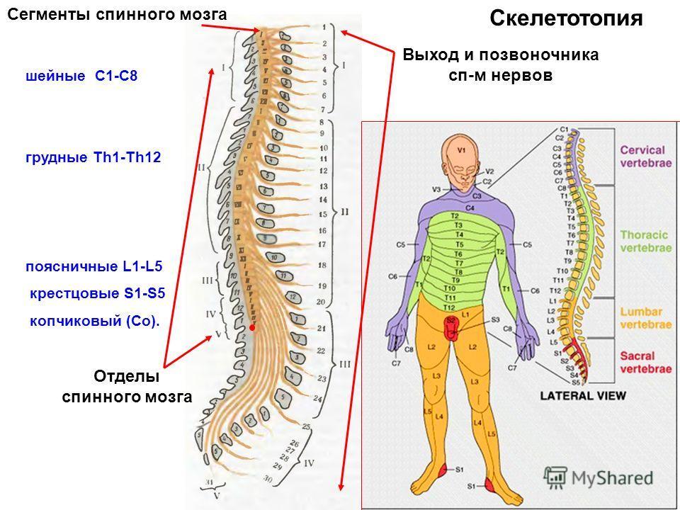 шейные С1-C8 грудные Тh1-Th12 поясничные L1-L5 крестцовые S1-S5 копчиковый (Со). Сегменты спинного мозга Отделы спинного мозга Выход и позвоночника сп-м нервов Скелетотопия