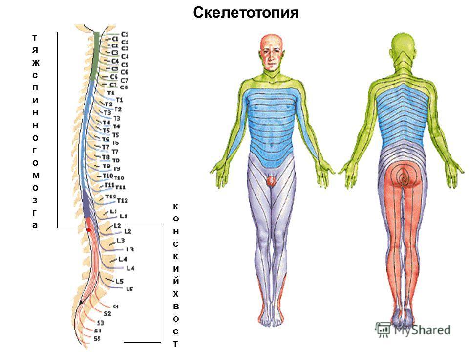 тяжспинногомозгатяжспинногомозга конскийхвостконскийхвост
