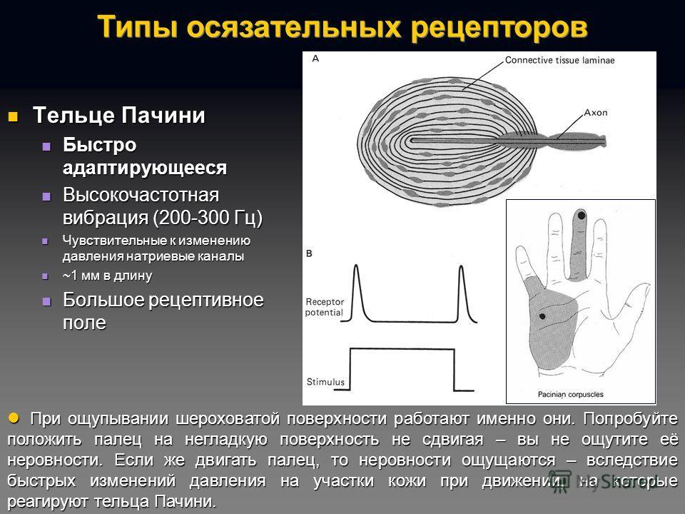 Тельце Пачини Тельце Пачини Быстро адаптирующееся Быстро адаптирующееся Высокочастотная вибрация (200-300 Гц) Высокочастотная вибрация (200-300 Гц) Чувствительные к изменению давления натриевые каналы Чувствительные к изменению давления натриевые кан
