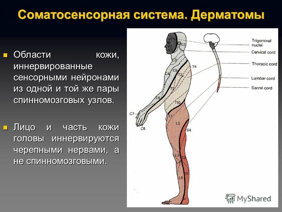 Соматосенсорная система. Дерматомы Области кожи, иннервированные сенсорными нейронами из одной и той же пары спинномозговых узлов. Области кожи, иннервированные сенсорными нейронами из одной и той же пары спинномозговых узлов. Лицо и часть кожи голов