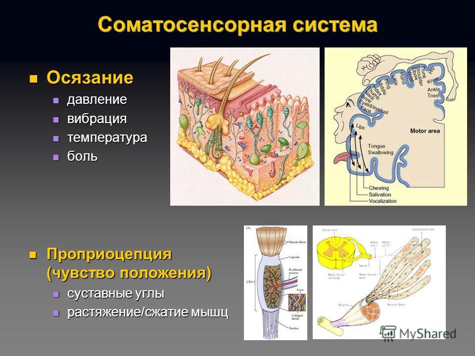 Соматосенсорная система Осязание Осязание давление давление вибрация вибрация температура температура боль боль Проприоцепция (чувство положения) Проприоцепция (чувство положения) суставные углы суставные углы растяжение/сжатие мышц растяжение/сжатие