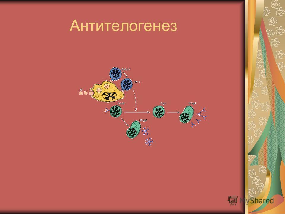 Антителогенез