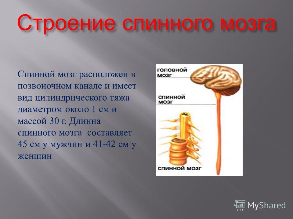 Строение спинного мозга Спинной мозг расположен в позвоночном канале и имеет вид цилиндрического тяжа диаметром около 1 см и массой 30 г. Длинна спинного мозга составляет 45 см у мужчин и 41-42 см у женщин