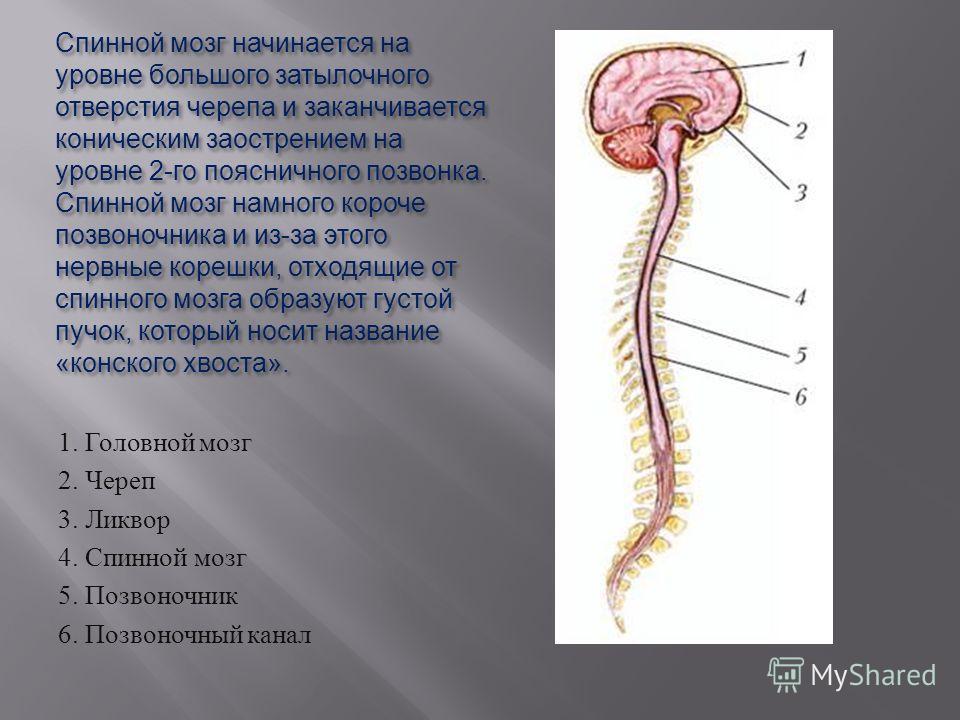 Спинной мозг начинается на уровне большого затылочного отверстия черепа и заканчивается коническим заострением на уровне 2- го поясничного позвонка. Спинной мозг намного короче позвоночника и из - за этого нервные корешки, отходящие от спинного мозга