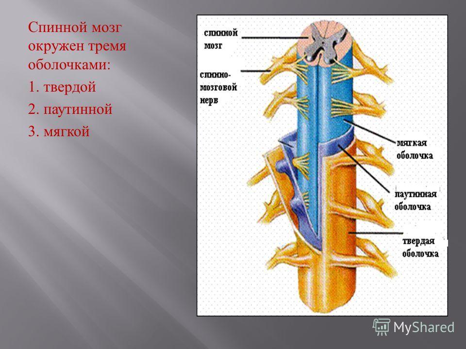 Спинной мозг окружен тремя оболочками : 1. твердой 2. паутинной 3. мягкой