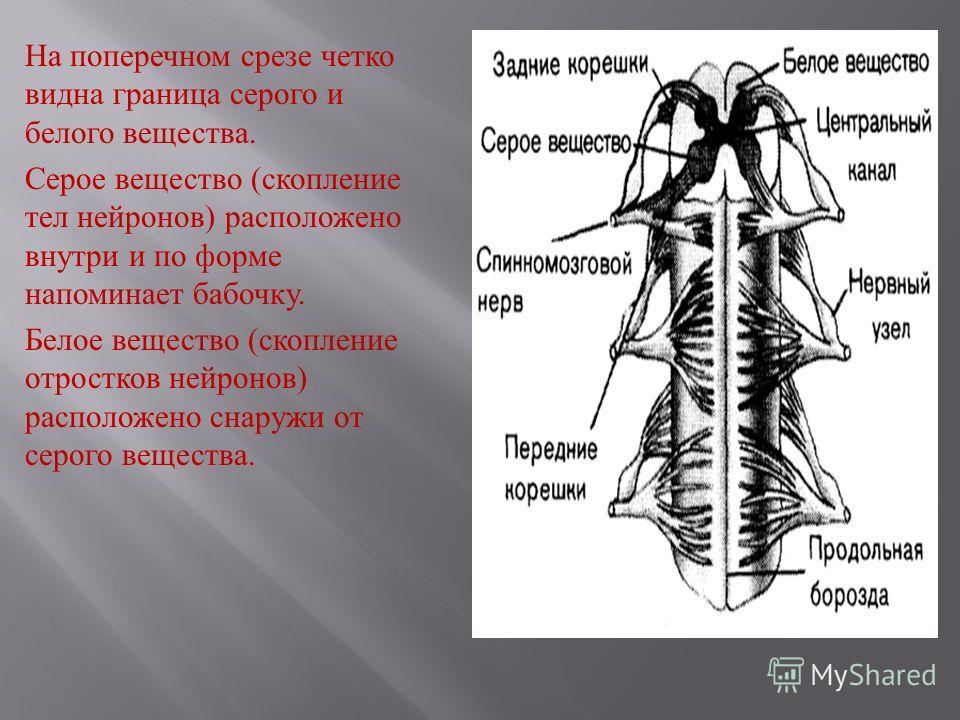 На поперечном срезе четко видна граница серого и белого вещества. Серое вещество ( скопление тел нейронов ) расположено внутри и по форме напоминает бабочку. Белое вещество ( скопление отростков нейронов ) расположено снаружи от серого вещества.