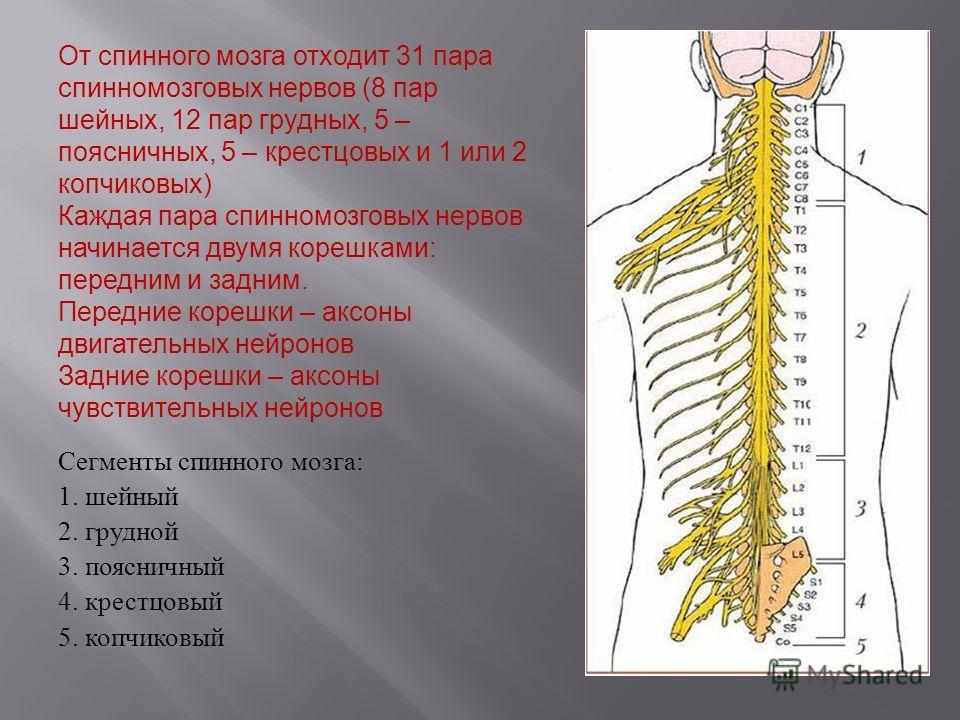 От спинного мозга отходит 31 пара спинномозговых нервов (8 пар шейных, 12 пар грудных, 5 – поясничных, 5 – крестцовых и 1 или 2 копчиковых ) Каждая пара спинномозговых нервов начинается двумя корешками : передним и задним. Передние корешки – аксоны д