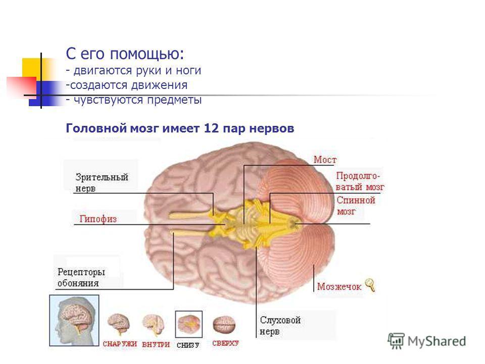 С его помощью: - двигаются руки и ноги -создаются движения - чувствуются предметы Головной мозг имеет 12 пар нервов