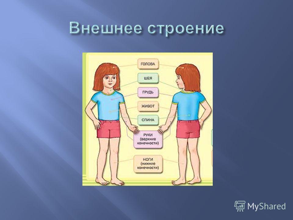 Строение внешнее части тела голова шея туловище грудь живот спина руки ноги внутреннее органы мозг лёгкие сердце желудок кишечник печень почки