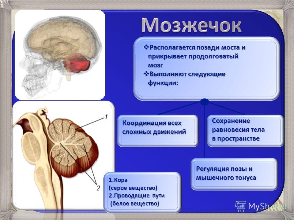 Располагается позади моста и Располагается позади моста и прикрывает продолговатый прикрывает продолговатый мозг мозг Выполняют следующие Выполняют следующие функции: функции: Координация всех сложных движений Регуляция позы и мышечного тонуса Сохран