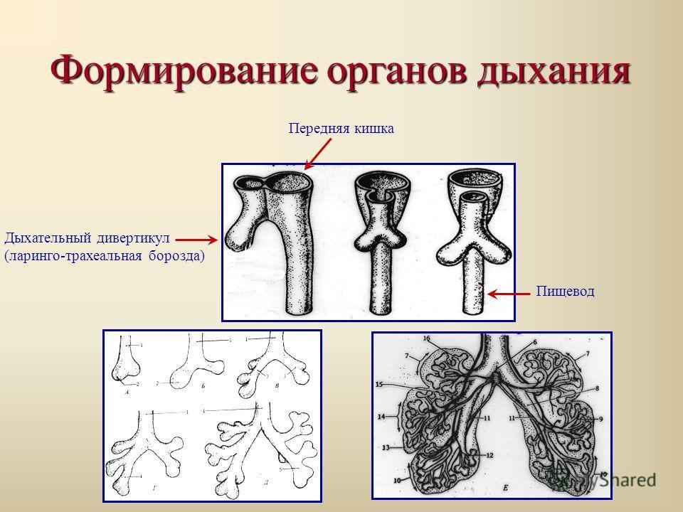 Формирование органов дыхания Передняя кишка Дыхательный дивертикул (ларинго-трахеальная борозда) Пищевод