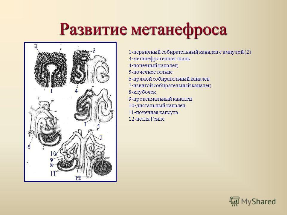 Развитие метанефроса 1-первичный собирательный каналец с ампулой (2) 3-метанефрогенная ткань 4-почечный каналец 5-почечное тельце 6-прямой собирательный каналец 7-извитой собирательный каналец 8-клубочек 9-проксимальный каналец 10-дистальный каналец