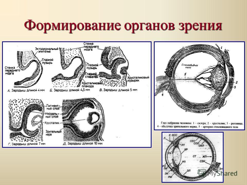 Формирование органов зрения