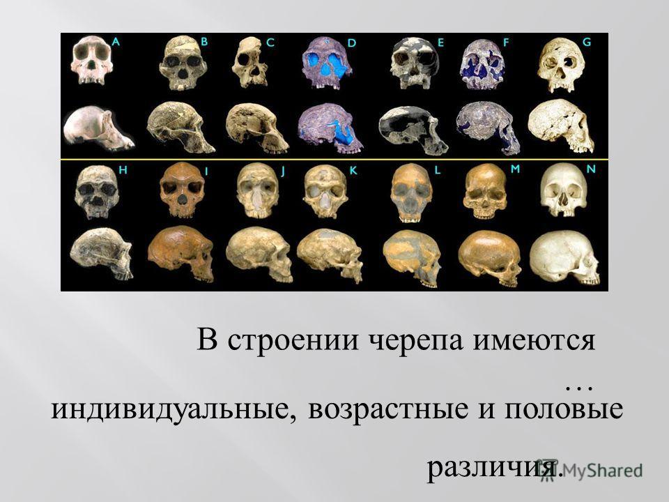 В строении черепа имеются … индивидуальные, возрастные и половые различия.