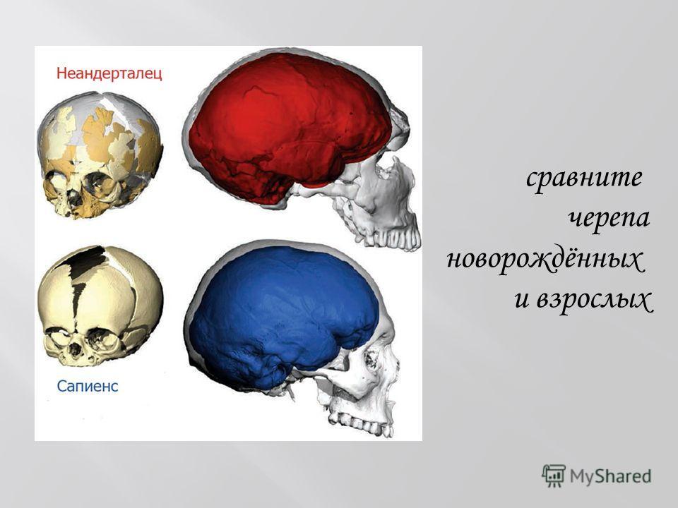 сравните черепа новорождённых и взрослых
