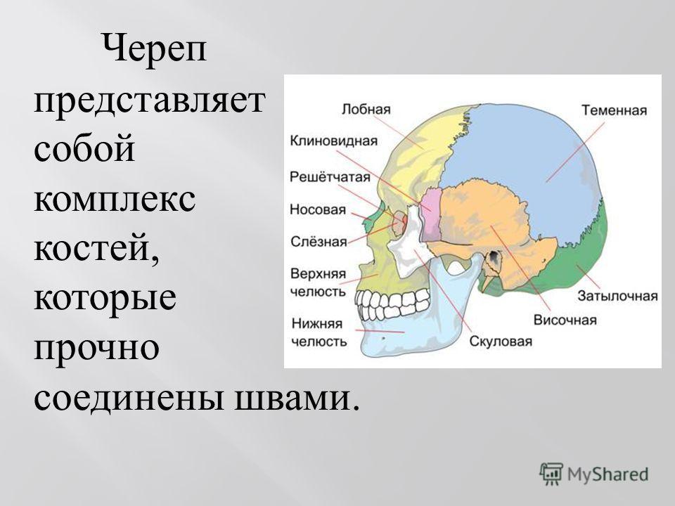 Череп представляет собой комплекс костей, которые прочно соединены швами.