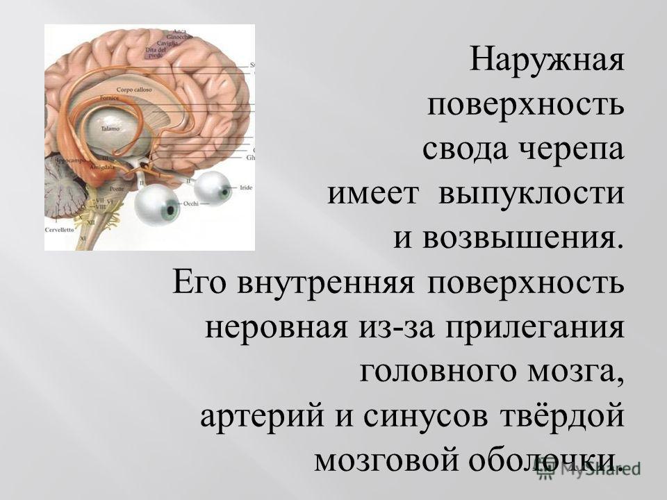 Наружная поверхность свода черепа имеет выпуклости и возвышения. Его внутренняя поверхность неровная из - за прилегания головного мозга, артерий и синусов твёрдой мозговой оболочки.
