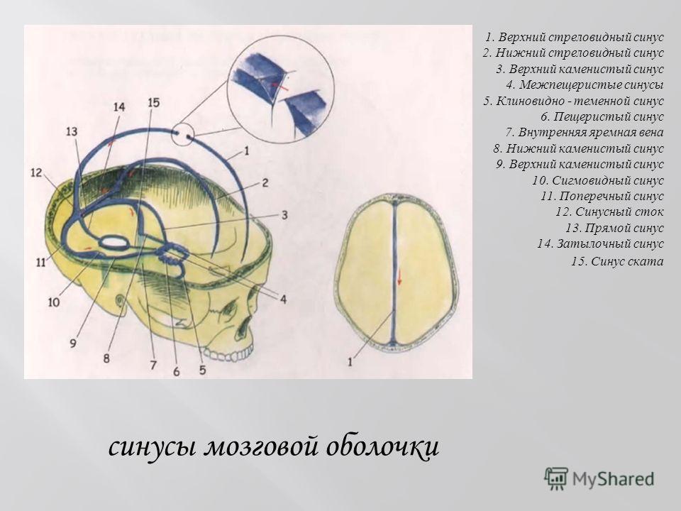 синусы мозговой оболочки 1. Верхний стреловидный синус 2. Нижний стреловидный синус 3. Верхний каменистый синус 4. Межпещеристые синусы 5. Клиновидно - теменной синус 6. Пещеристый синус 7. Внутренняя яремная вена 8. Нижний каменистый синус 9. Верхни