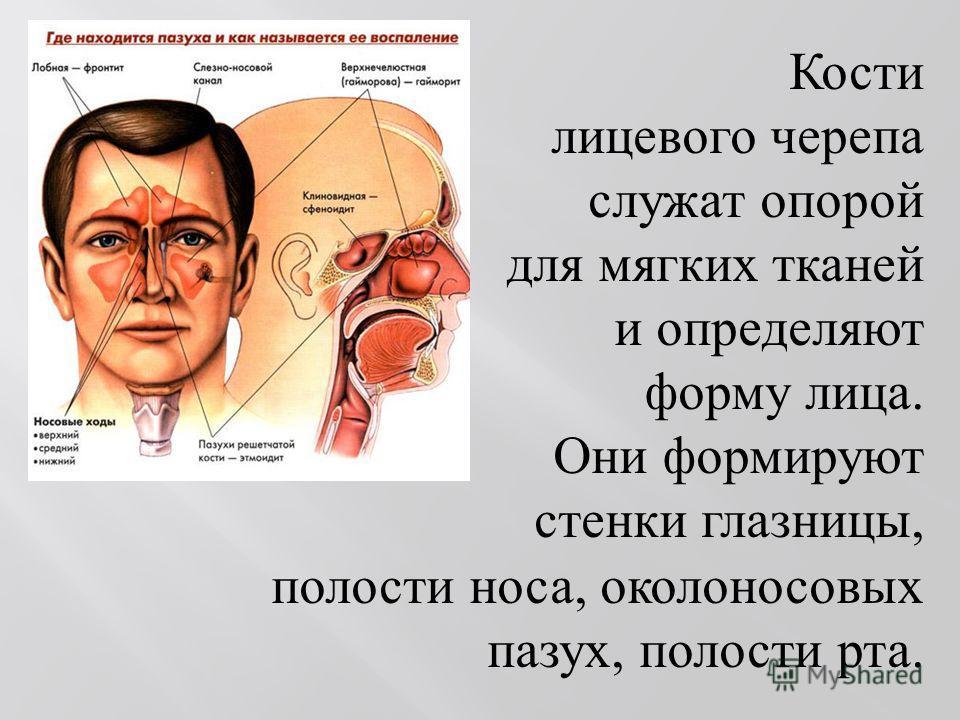 Кости лицевого черепа служат опорой для мягких тканей и определяют форму лица. Они формируют стенки глазницы, полости носа, околоносовых пазух, полости рта.