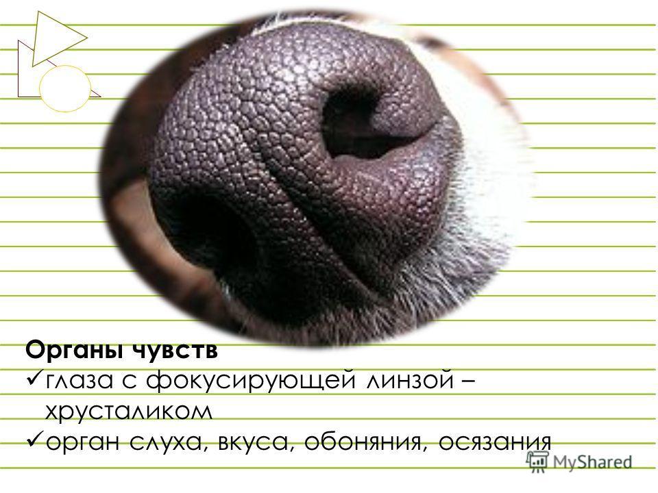 Органы чувств глаза с фокусирующей линзой – хрусталиком орган слуха, вкуса, обоняния, осязания